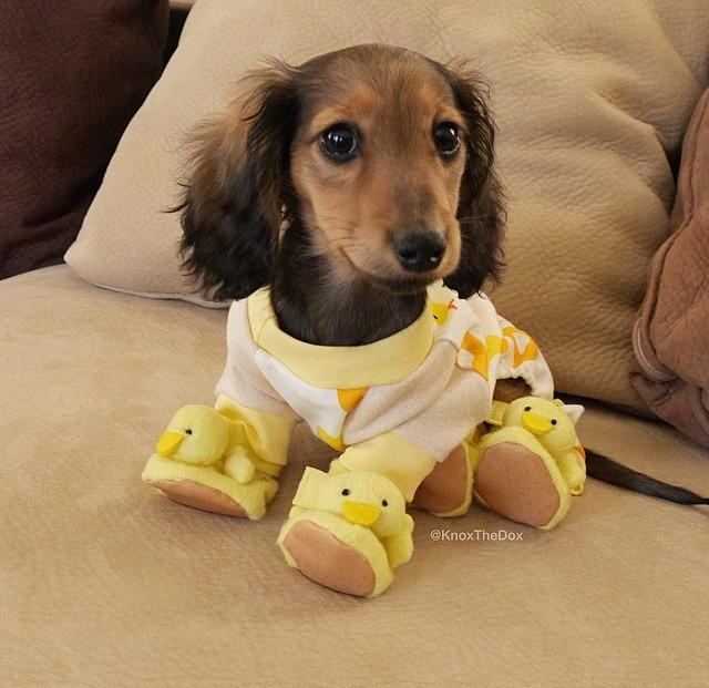 Cute puppy in ducky pajamas